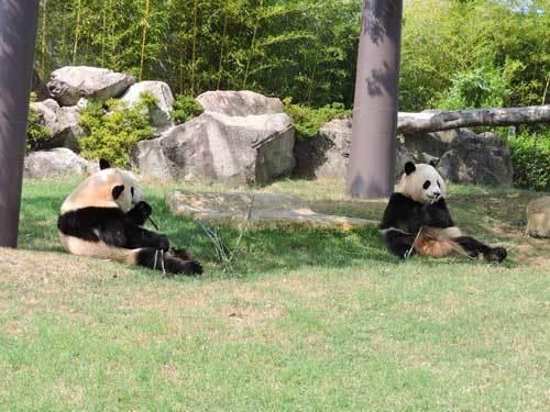 双子のパンダ3