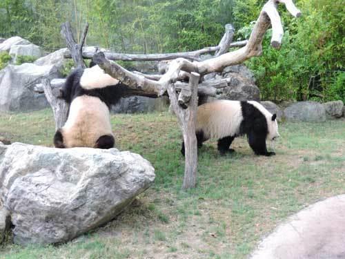 双子のパンダ4