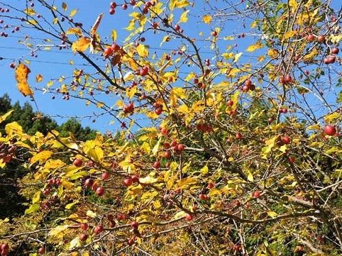 クラブアップルの黄葉と赤い実