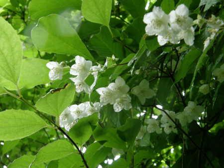 梅花ウツギ野生種1