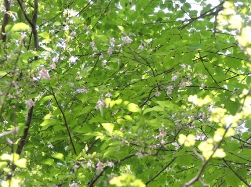 育樹園の紅花エゴノキ2