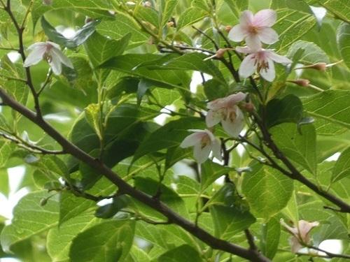 紅花エゴノキ2