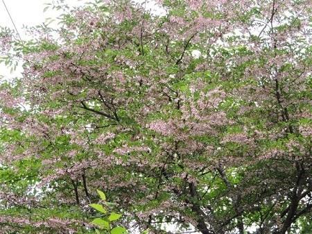 紅花エゴノキ1