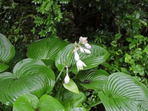 ギボウシの花2