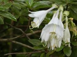 ギボウシの花4