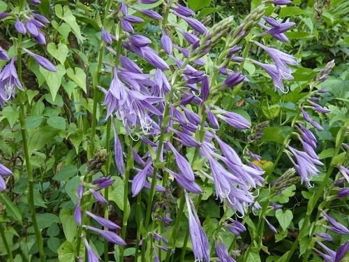 ギボウシの花7