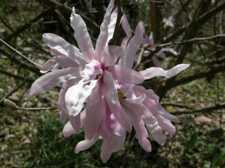 紅花ヒメコブシ2