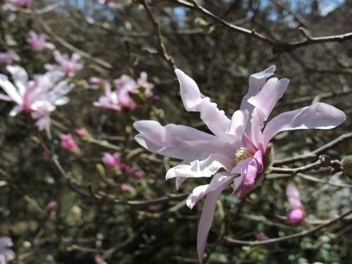 紅花シデコブシ2