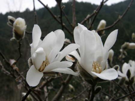 白花ヒメコブシ