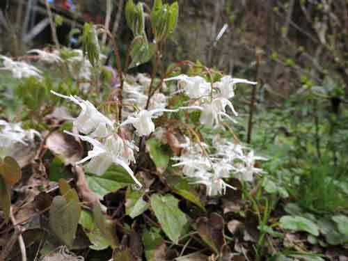 イカリソウ白花