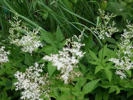 京鹿の子白花
