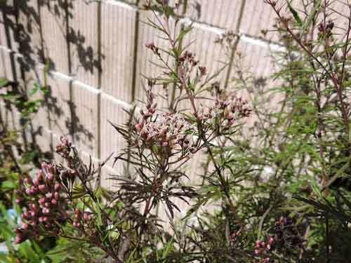 菊葉フジバカマ1