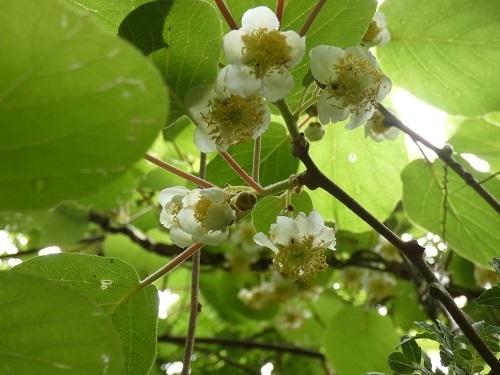 キウィの花1