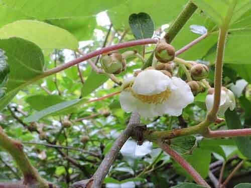 キウィの花