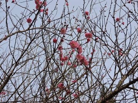 早咲きの紅梅
