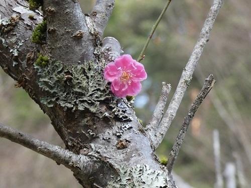 早咲の紅梅