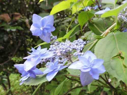 深山八重紫2