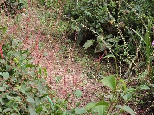 ミズヒキ赤花と白花