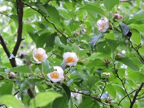 桃色ナツツバキ1