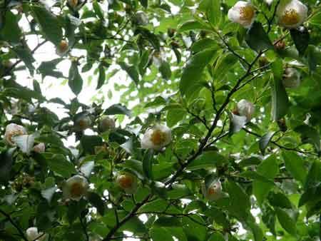 桃色ナツツバキ
