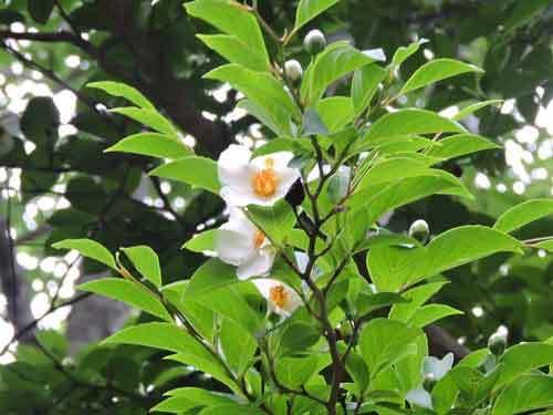 ナツツバキ実生の花1