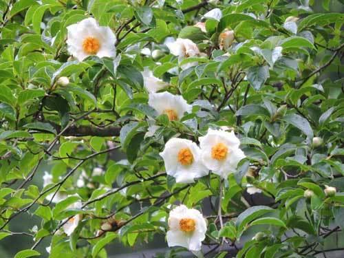 ナツツバキ1の花