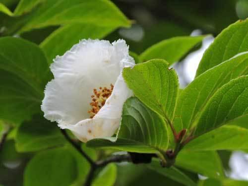 ナツツバキ実生の花2