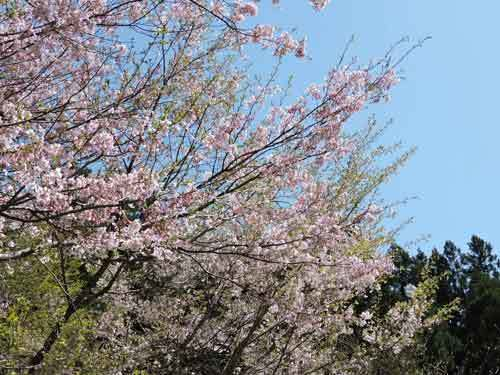 思川桜と十月桜