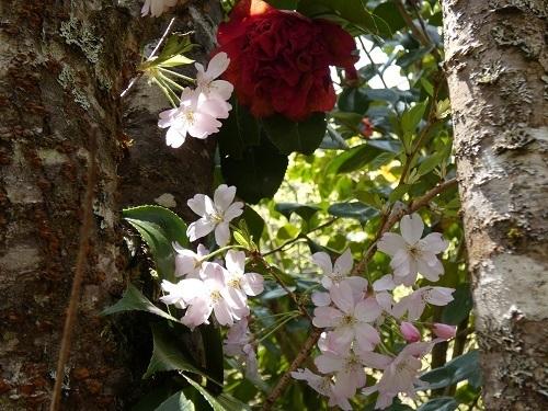 思川の花かんざし