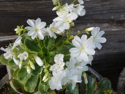 レウイシア白花