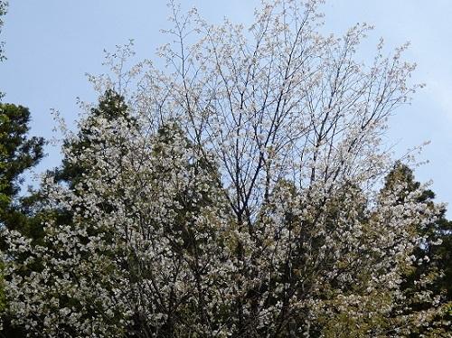 満開の山桜