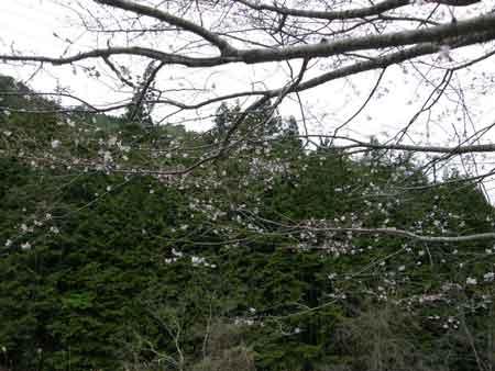 十月桜(1)