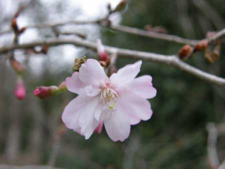 十月桜(2)