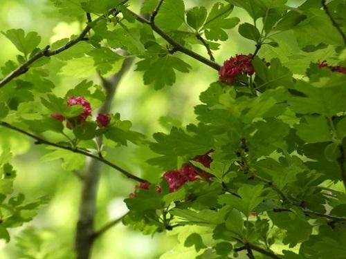 紅花サンザシ