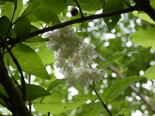 サラサウツギ白花