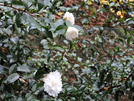 白花の山茶花1