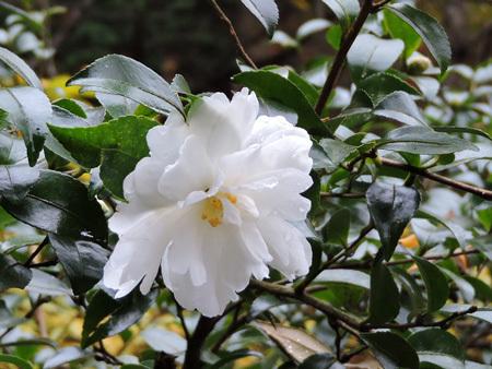 白花の山茶花2