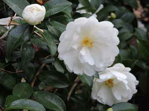 白花サザンカ3