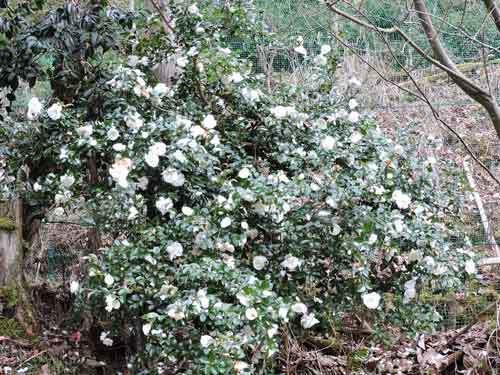 白花サザンカ1