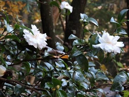 白花八重咲き山茶花1