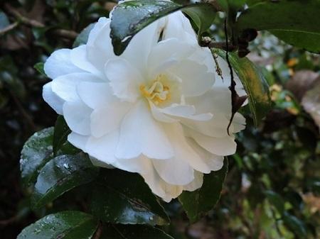 白花八重咲き山茶花2