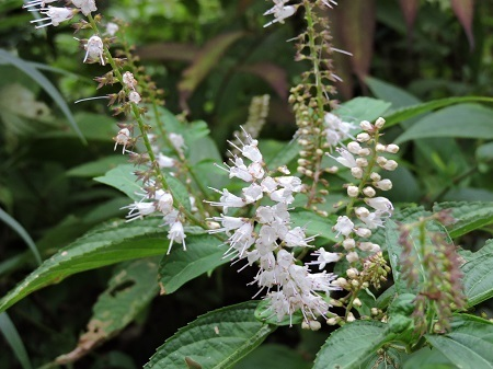 シモバシラの花