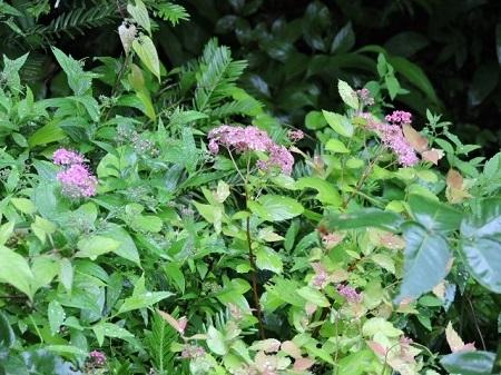 シモツケ赤花