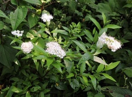 シモツケ白花