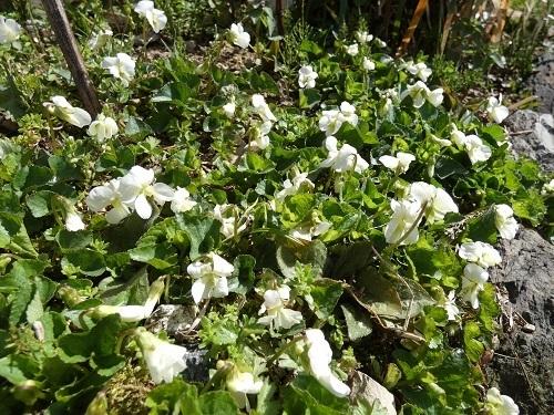 スミレ白花