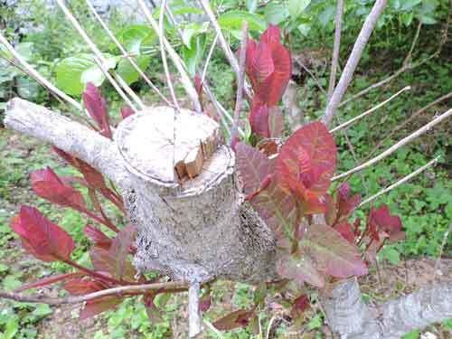 スモークツリー