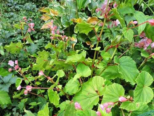 シュウカイドウ赤花1