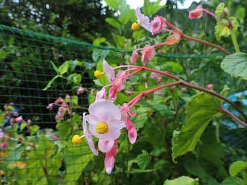 シュウカイドウ赤花2