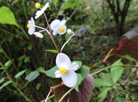 秋海棠白花