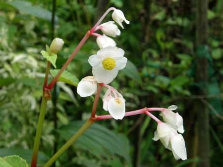 シュウカイドウ白花